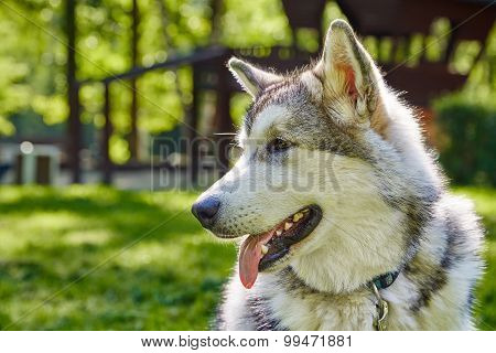 young alaskan malamute sled breed puppy sitting and smiling outdoor