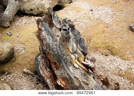 Meerkat sitting and relaxing on the log
