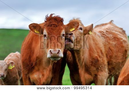 A herd of cows on the meadow lane in the West of Ireland