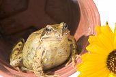 frog in a flowerpot plus a golden marigold poster