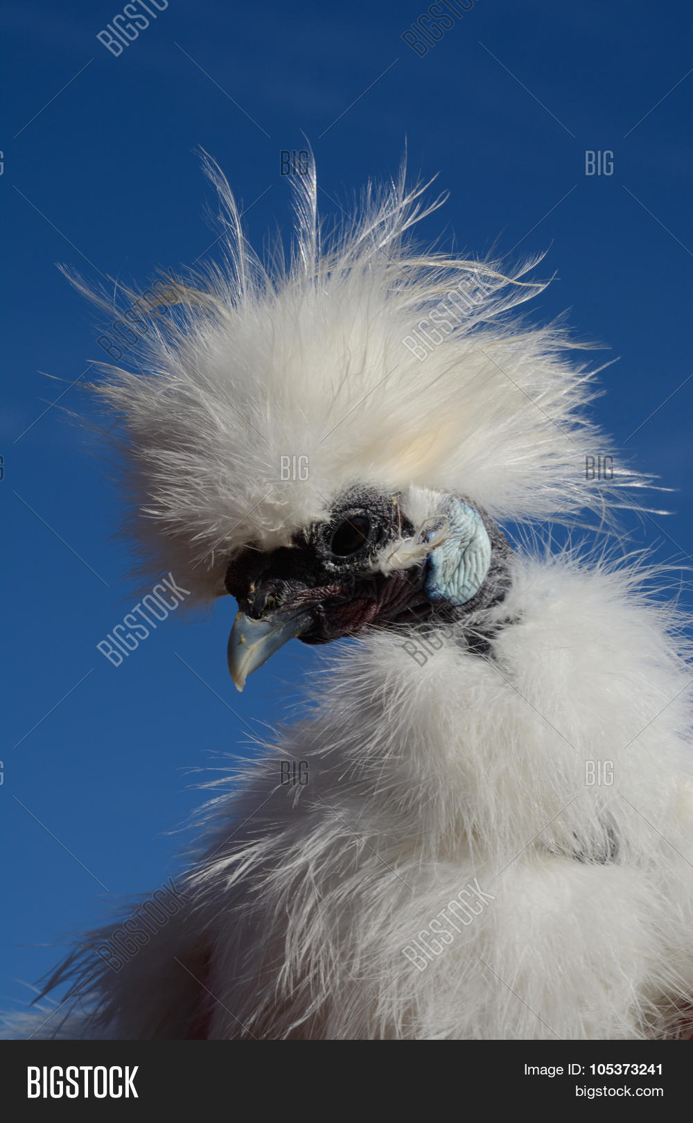Showgirl rooster which is a mix between a Silkie chicken and a Naked Neck  chicken