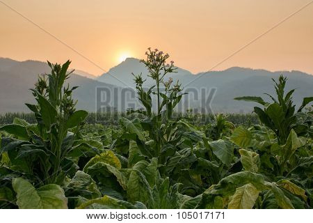 Tobacco farm in countryside with mountain range and sunrise in the background poster