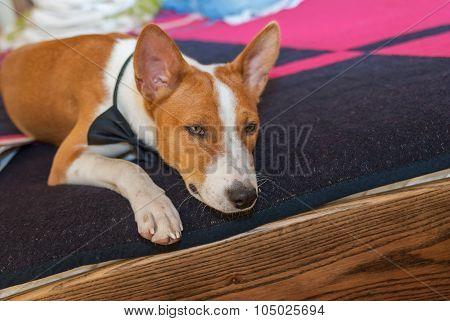 Bored basenji dog lying at the bed