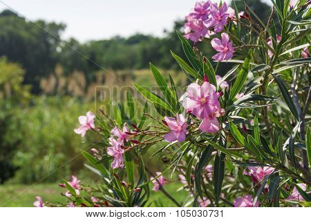 Oleander shrub, Pink flowers