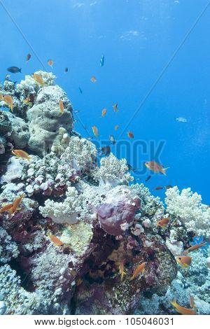 Coral Reef With  Fishes Scalefin Anthias, Underwater