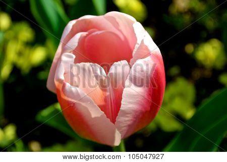 Pink Tulip Close-up