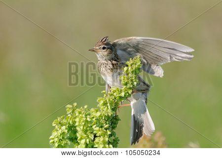 Wing Flapping Eurasian Skylark