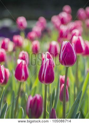 Manay Vitality Purple Tulpis Close Up Shot
