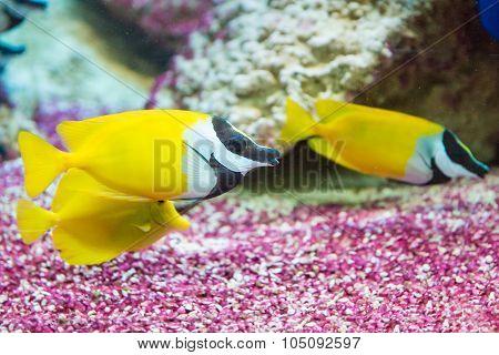 saltwater fish foxface rabbitfish. Siganus vulpinus. yellow fishes poster