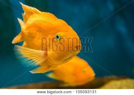 fresh water, orange fish blood parrot cichlid.