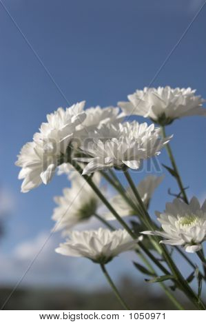 White Flowers Against A Blue Sky