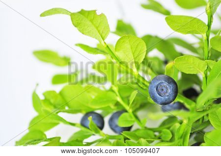 Uncultivated huckleberry