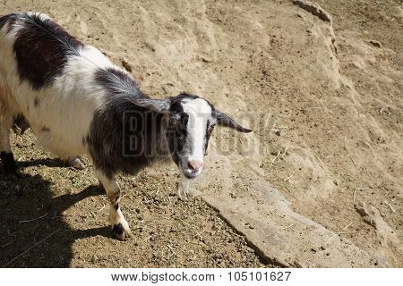 It Gets My Goat