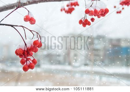 Background with snow-covered mountain ash