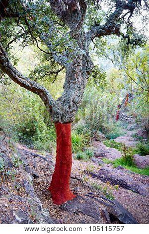 Castellon alcornocal in Sierra Espadan cork tree forest in Valencian Community of Spain