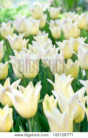 Yellow Tulips In Flower Bed