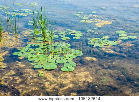 Shallow Pond With Algae And Lily Pads
