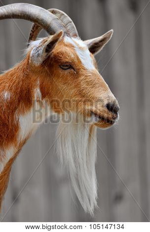 Side portrait of a male billy goat face with a long beard