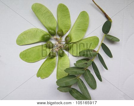 Close-up of seedpods on The South American tipu tree (Tipuana tipu). poster