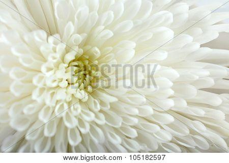 Soft flower - white chrysanthemum, macro