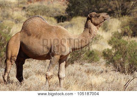 Camel, Australia