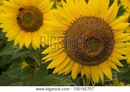 Closeup Of Two Sunflowers
