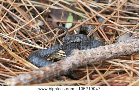 Black snake.