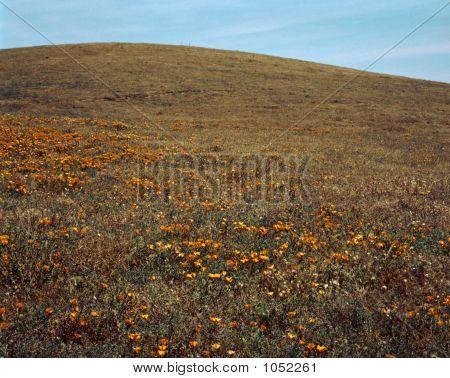 Poppy Field 03