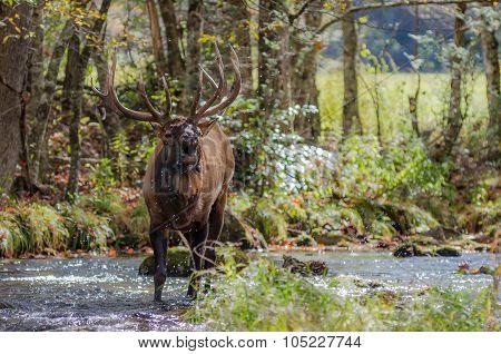 Elk Bugling While Standing In Creek