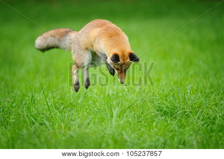 Red Fox On Hunt When Mousing In Grass From Front Side View