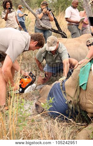 Dehorning Of Large Rhino After Been Darted And Stabilized