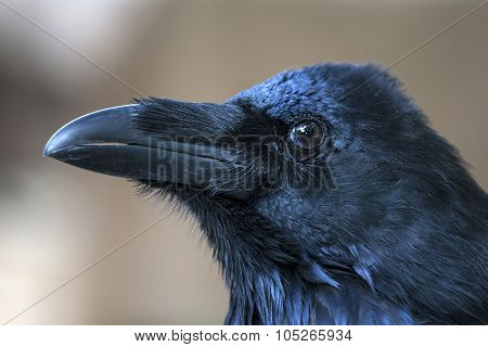 Portrait Of Black Crow Standing - Common Raven