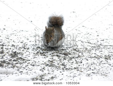 Cute Squirrel Forageing For Food In The Snow