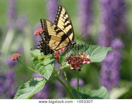 Closeup Of A Yellow Swallowtail Butterfly Gathering Nectar