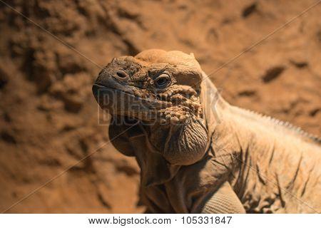 Headshot Of Rhinocerous Iguana; Rock Iguana