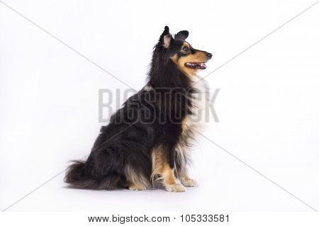 Shetland Sheepdog sitting isolated on white studio background poster