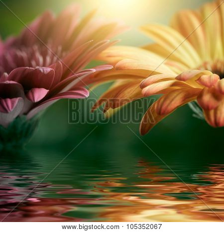 Pink and orange daisy gerbera reflecting in the water. Shallow DOF