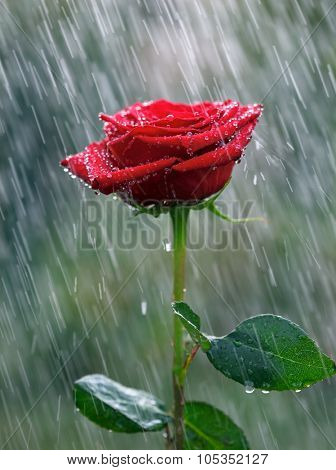 Red rose with waterdrops into the rain
