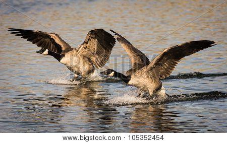 Pair Of Landing Geese