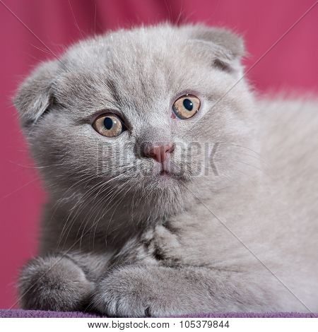 Scottish fold cat.