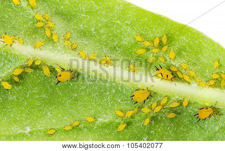 Pest On Plant