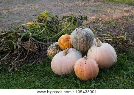 pumpkins in autumn garden