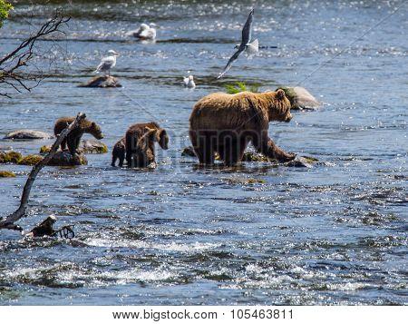 female Alaskan brown bear along stream Katmai National Park