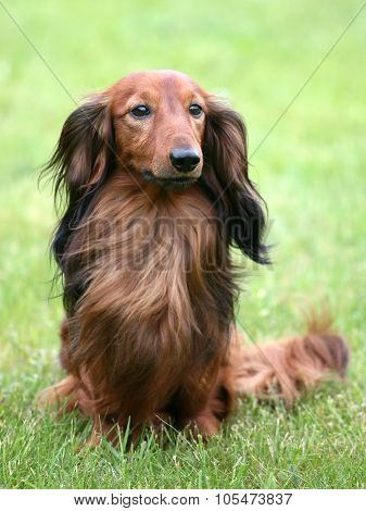 Dachshund Standard Long-haired On A Green Grass