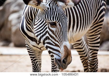 Close-up Of Grevy's Zebra
