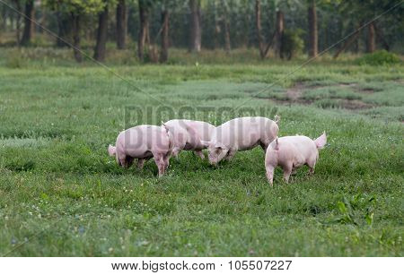 Pigs On Grassland