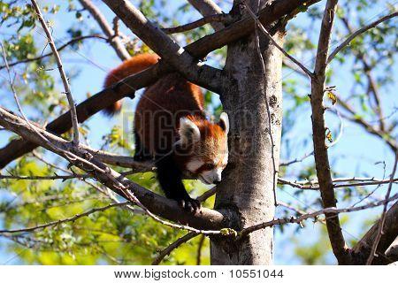 Red Panda climbing down tree. Ailurus fulgens poster