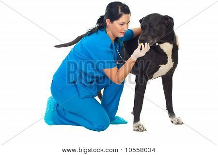 Veterinarian Give Pill To A Big Dog