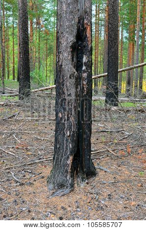 The Pine Trunk Which Scorched At Forest Fire.