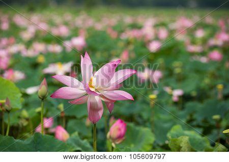 Field of lotus flower